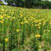 大阪舞洲ゆり園割引クーポンや駐車場や見頃開花状況画像公開 更新中